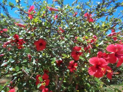 Rbol ornamental de hoja perenne y peque a resistente for Ver fotos de arboles de hoja perenne