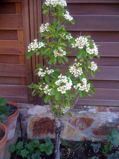 Frutales enanos y otros frutales en maceta la primavera for Arboles enanos para jardin