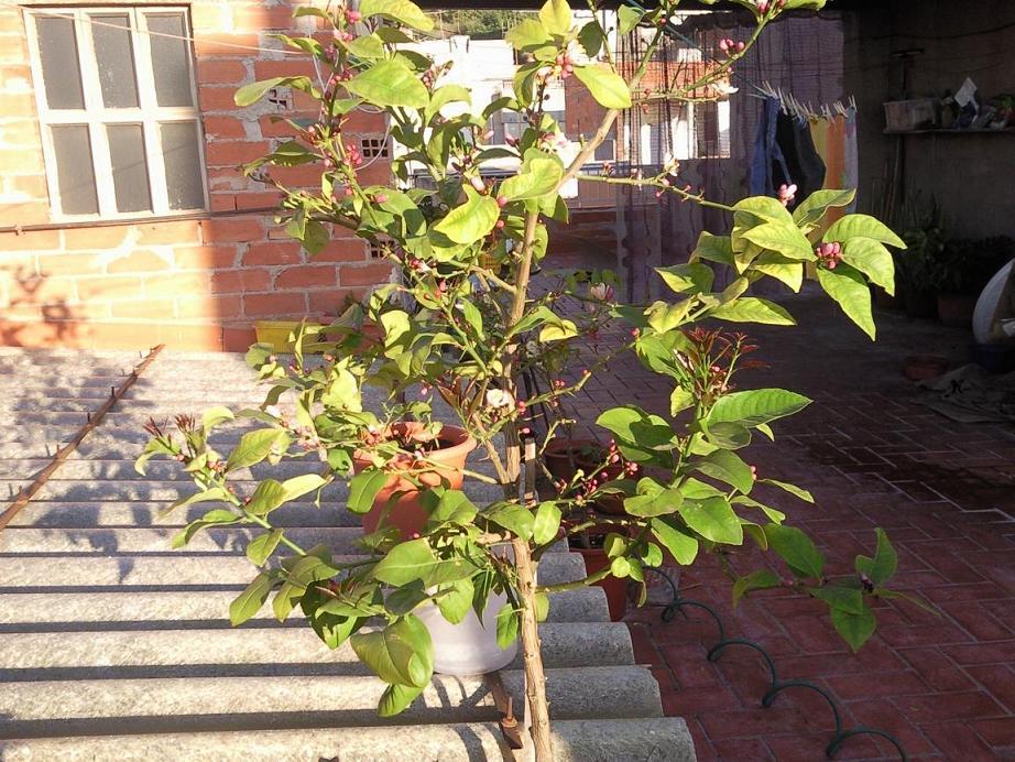 limonero eureka en maceta lleno de pinchos: ¿se los quito? tiene