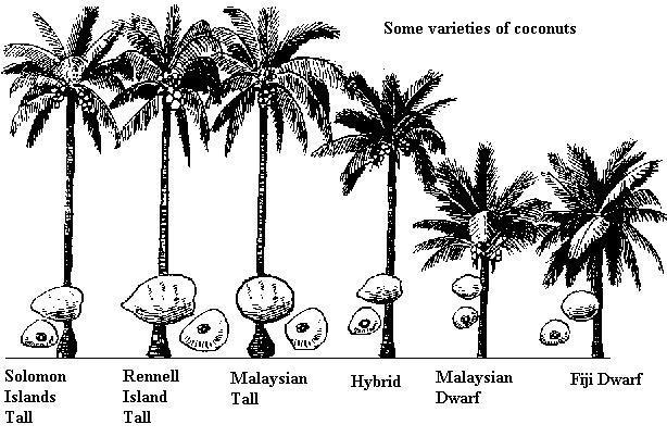 Cocos Nucifera Var Malayo Amarillo Informaci 243 N Sobre