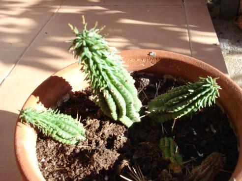 Cactus crasas y suculentas - Infojardin cactus ...