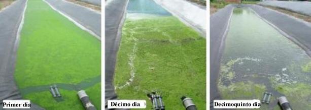 Algas en el estanque for Como oxigenar el agua de un estanque sin electricidad