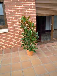 Trasplantar magnolia grandiflora en tiesto peque o a uno - Magnolia grandiflora cuidados ...