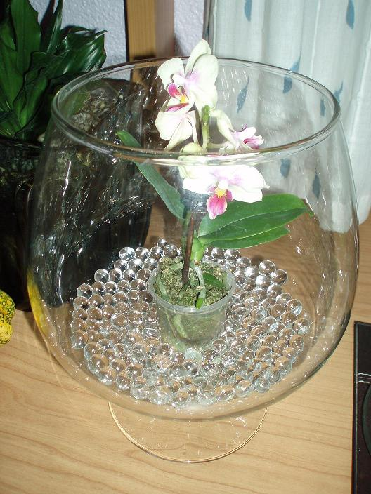 orquídea en jarrón de cristal con bolitas de agua: fotos y consejos