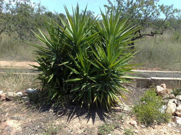 Yucca aloifolia foto - Yuca infojardin ...