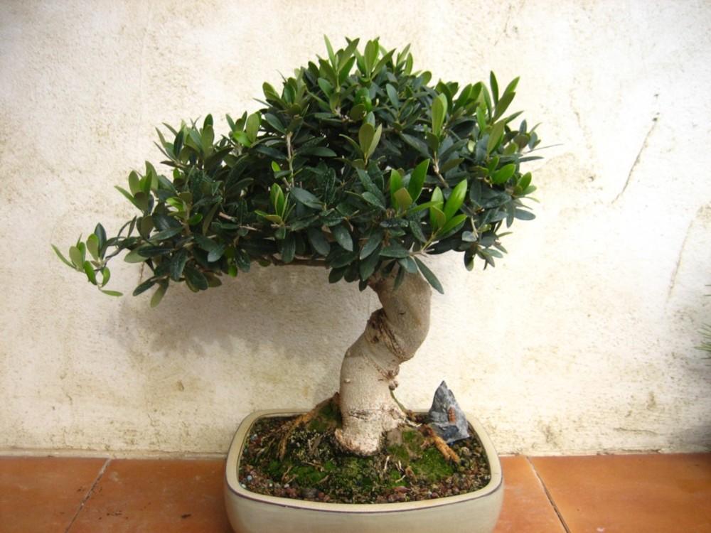 C mo hacer un bons i de olivo - Como cuidar un bonsai ...