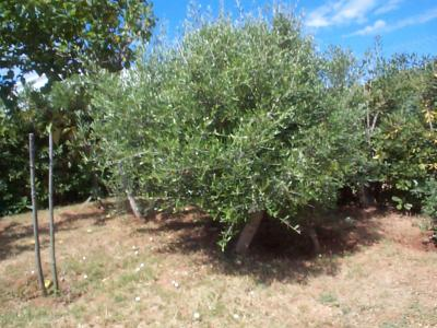 Arbustos de hoja peque a que sean frondosos para clima for Arboles de hoja perenne para clima continental