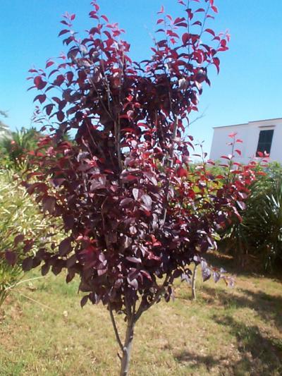 Rboles ornamentales para zona des rtica ciudad en medio for Arboles para veredas hojas perennes