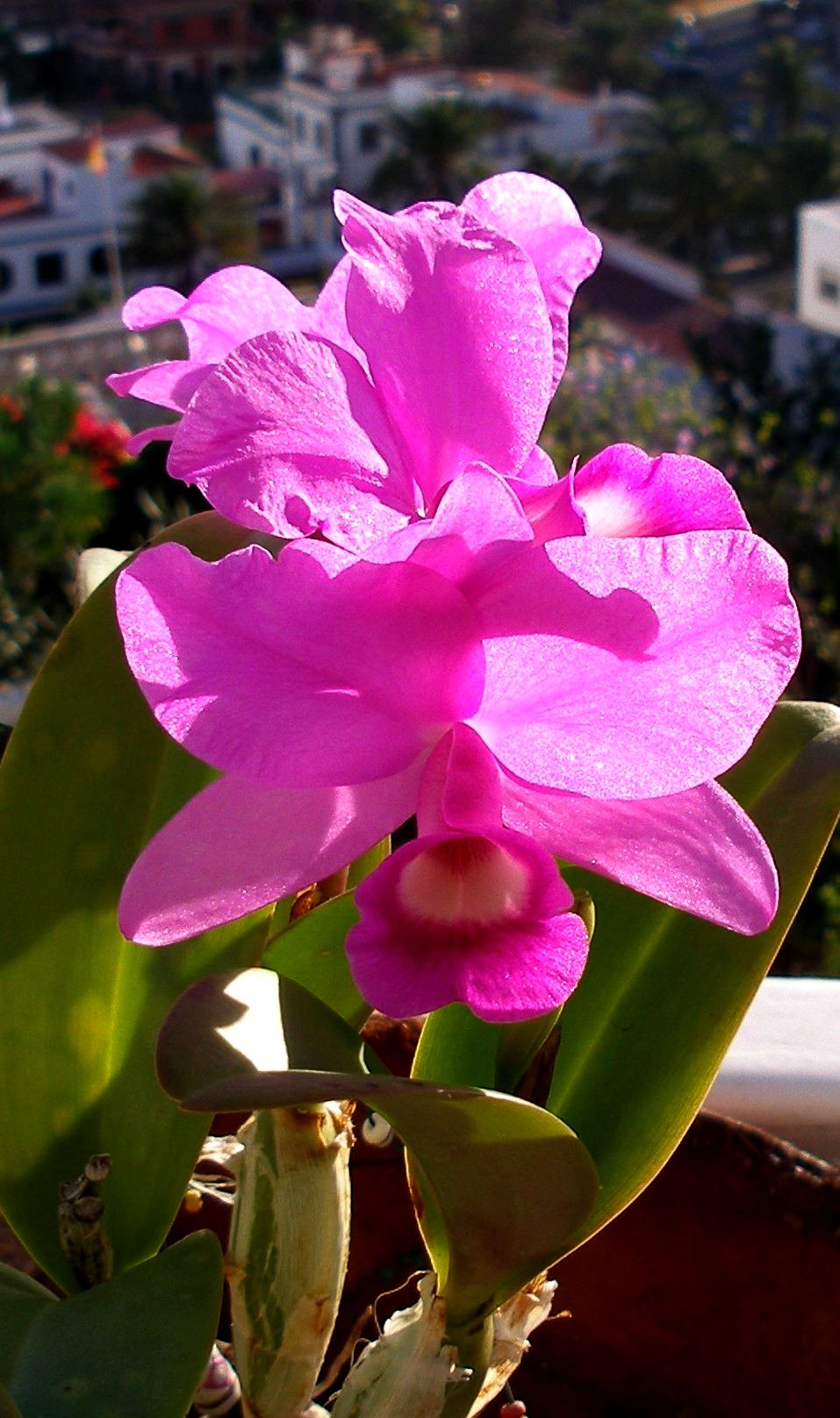 Panama panam dove orchid pigeon orchid holy ghost for Infos jardin