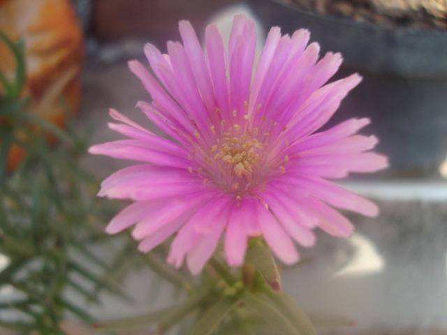 Plantas que aguanten el sol arbustos acepten riego - Plantas que aguanten el sol ...