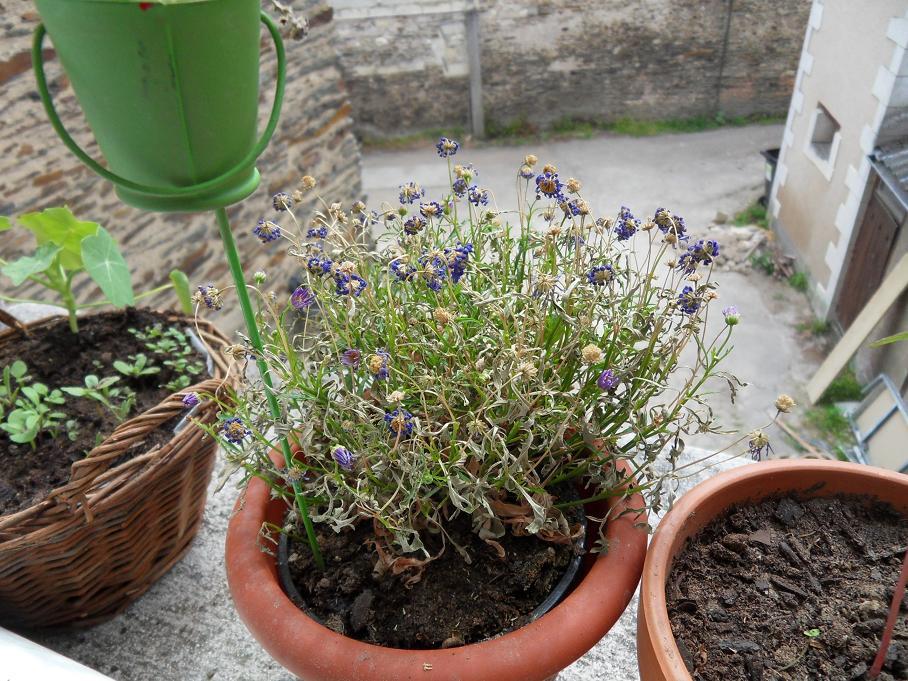 Aide Avec Mon Brachicum Au Jardin Forum De Jardinage