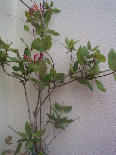 Madreselva en maceta en muy mal estado pocas hojas y - Madreselva en maceta ...