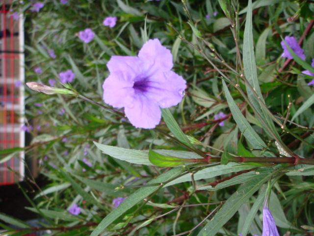 Flor lila nombre images for Infos jardin
