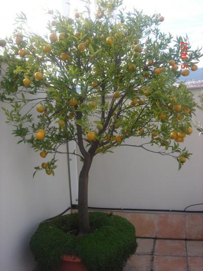 Frutales para maceta es un frutal especial o se puede - Plantar arboles frutales en macetas ...