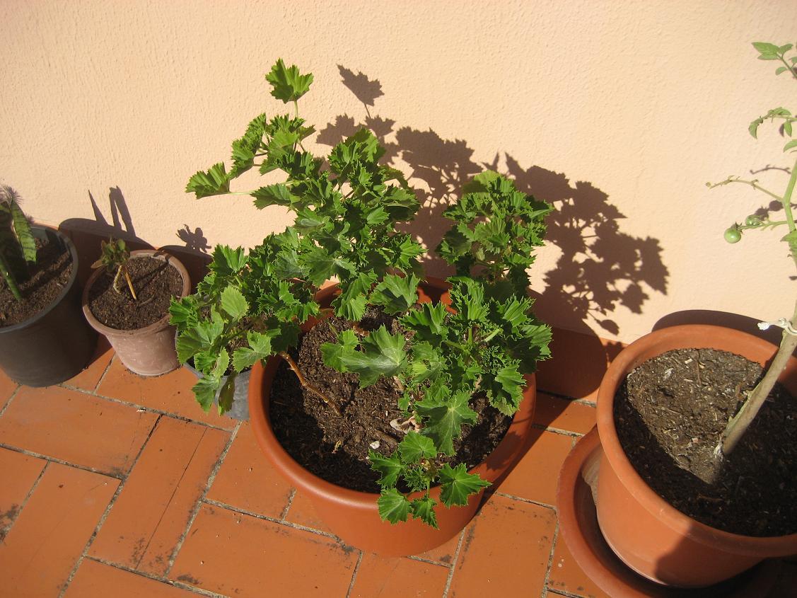 Transplante a maceta grande he hecho con mis geranios - Macetas barcelona ...
