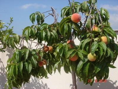Frutales para maceta es un frutal especial o se puede for Arboles frutales en maceta