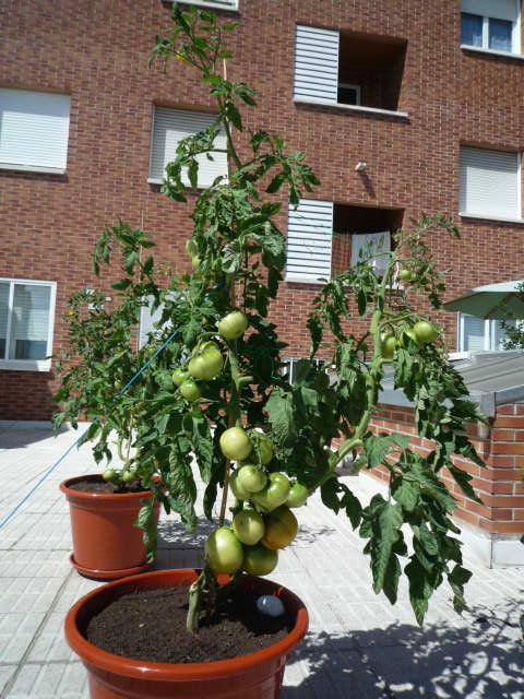 Fotos de mis tomates y pimientos en macetas for Plantar pimientos y tomates